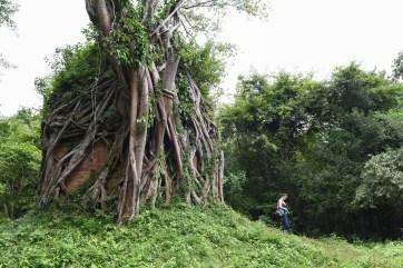 Les temples dans les arbres de Kampong Thom