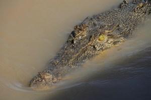 Reptile des eaux en Australie