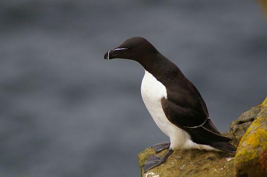 Ceci est un pingouin ! ©Wikipedia