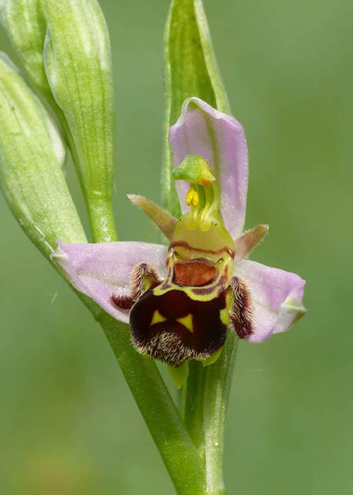 new forest orchids