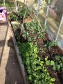 mixed leaf , peas, cucumber and some honeydew melons all doing well