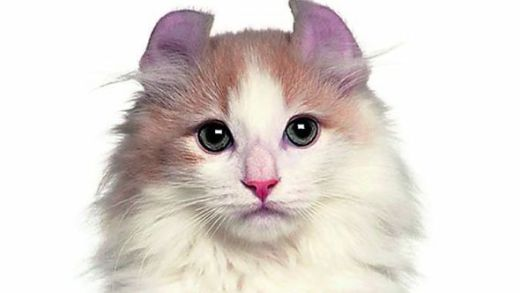 Cat with curly ears 552363