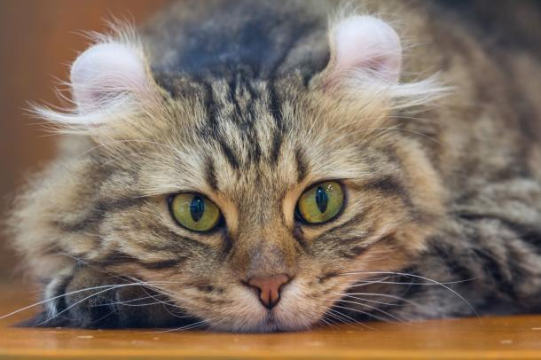 About Cats with Curly Ears