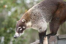 40 Things You Didn't Know About Coatimundi As Pets