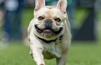 14 Things You Didn't Know About French Bulldogs