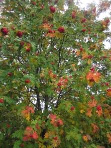 Rowan trees are spectacular this autumn!