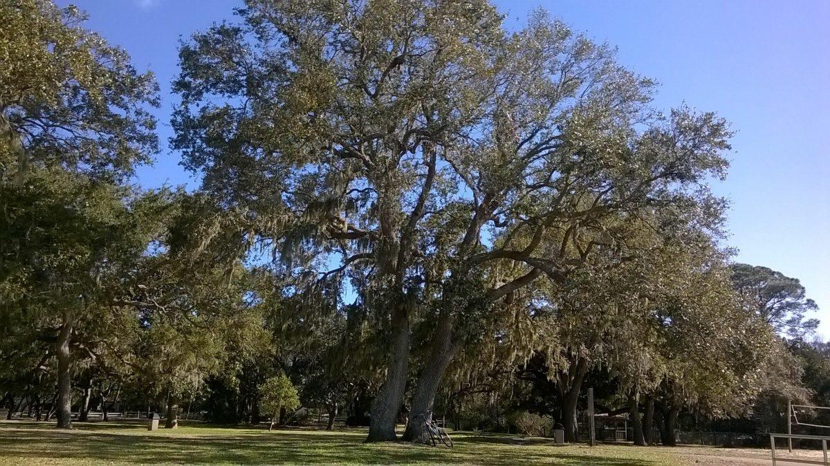 Southern Live Oak Tree-Fort Walton Beach Florida-06