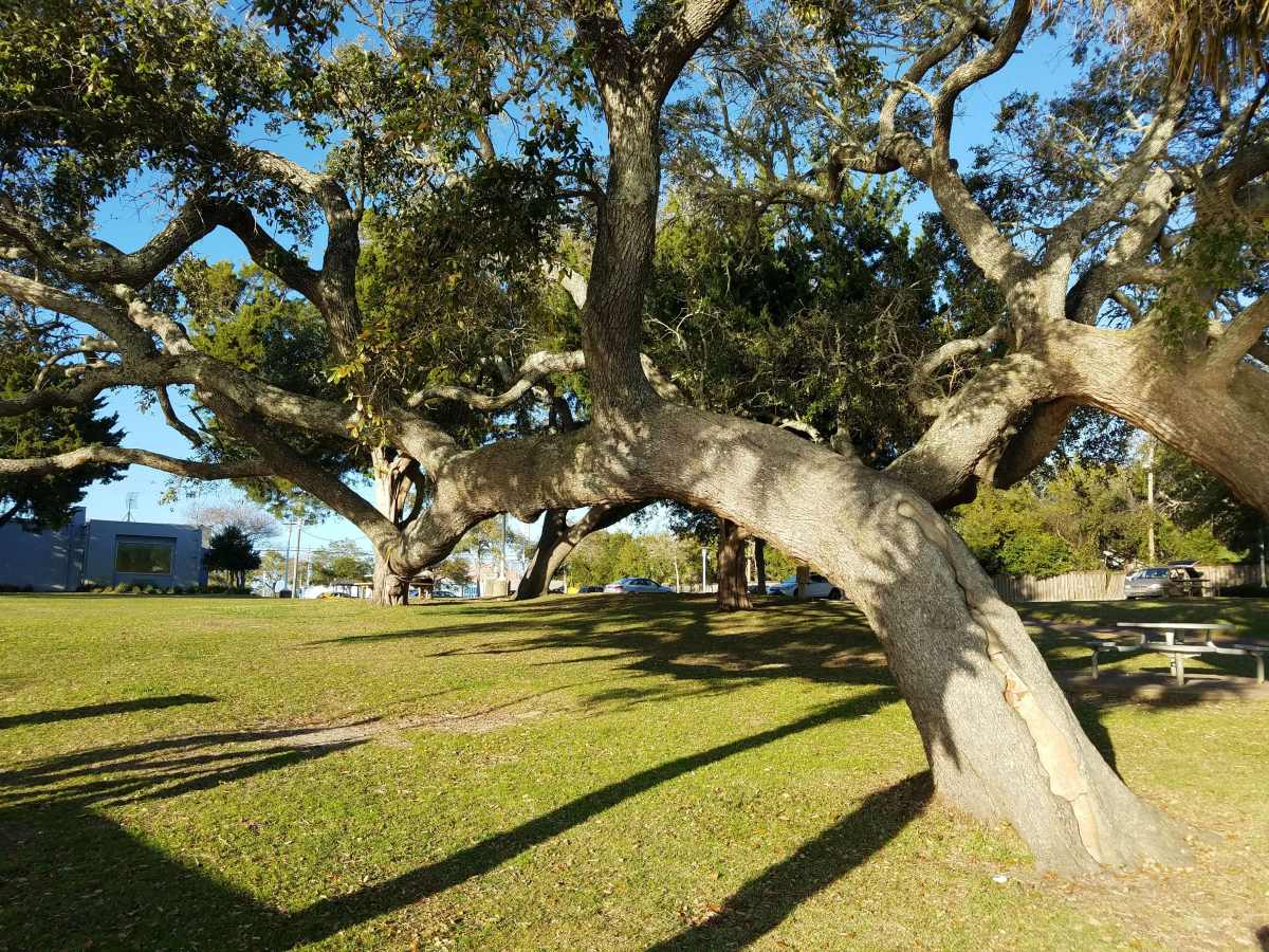 Southern Live Oak-Fort Walton Beach Florida-01