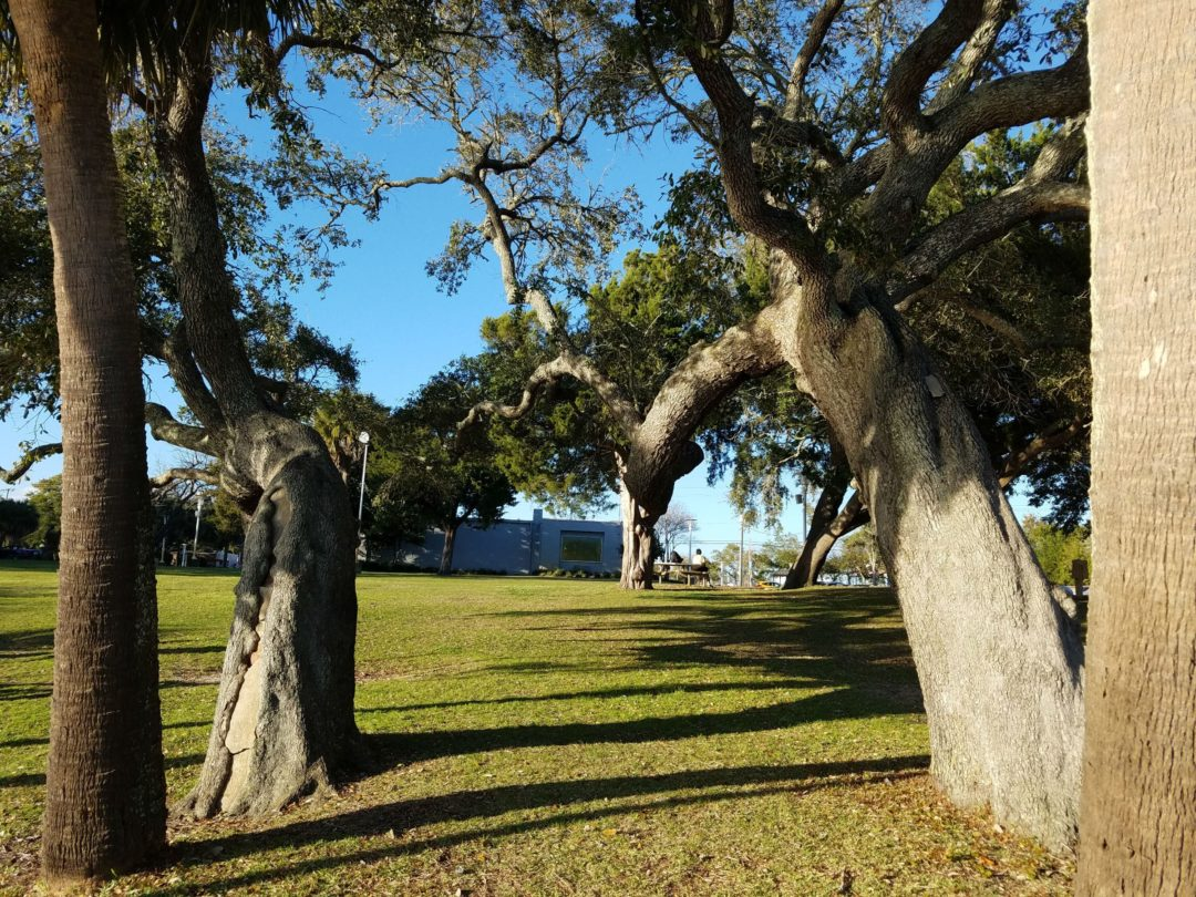 Southern Live Oak Tree-Fort Walton Beach Florida-03