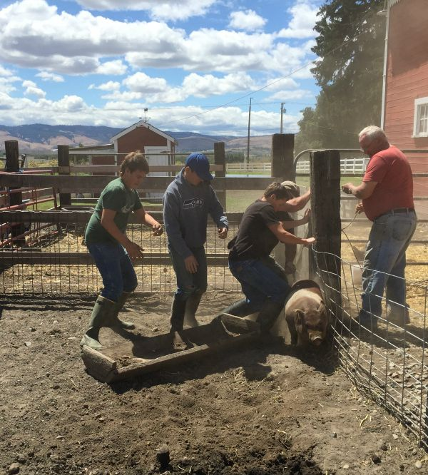 pig rodeo 2