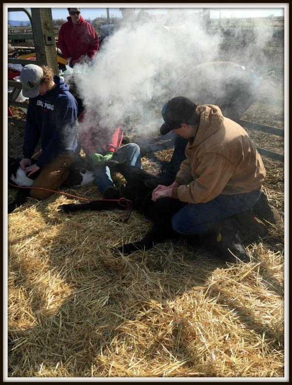 working cattle smoking