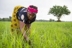 Image result for Tambuwal, Dangote flag off 5000 hectares rice plantation