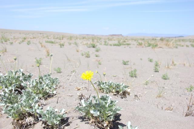 flower, desert, sand dune