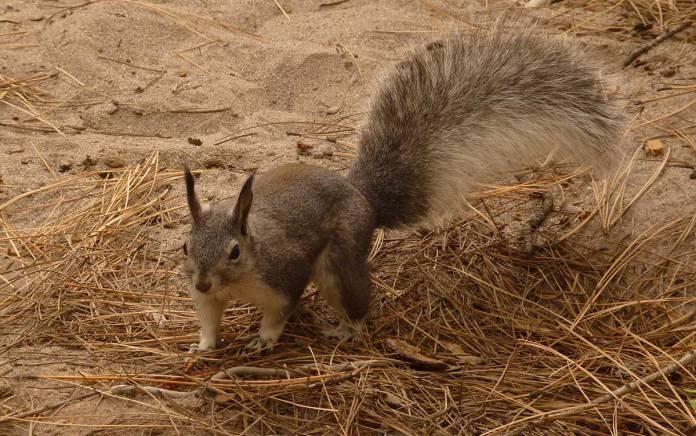 Bandelier squirrel