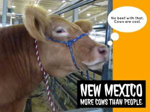 Fluffy cow at the New Mexico State Fair