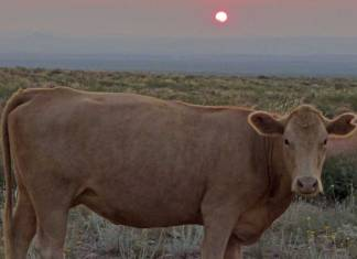 Cow Outside of Las Cruces