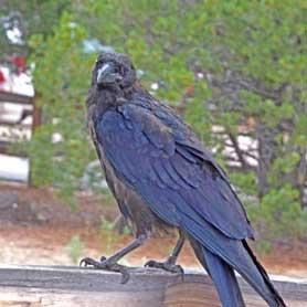 El Morro raven