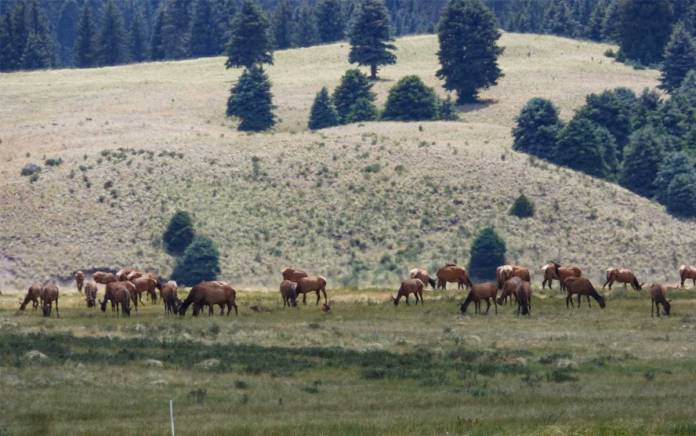 Elk at the Valles Caldera