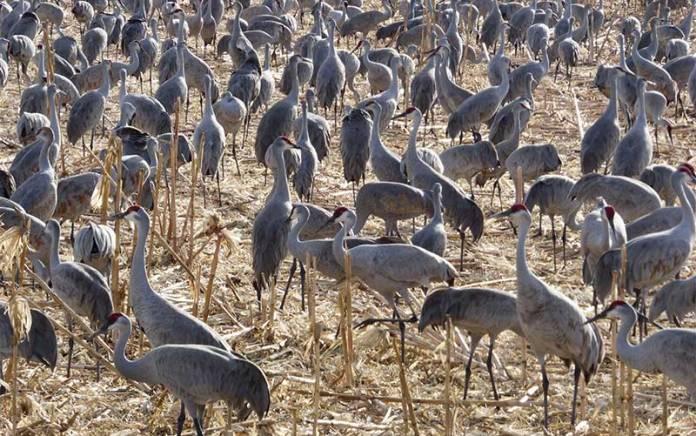 Bosque del Apache cranes