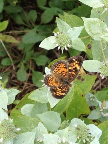 Butterflies enjoy this mountain mint as well, here a Pearl Crescent Butterfly alights on the silvery leaves of Short-toothed mountain mint.