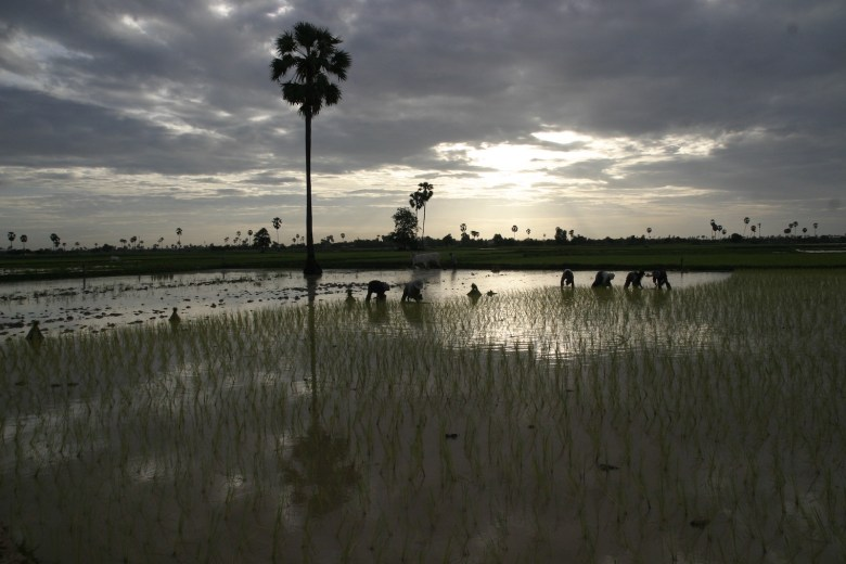 Rice farmers work in a field in Cambodia's Kandal Province in 2007.