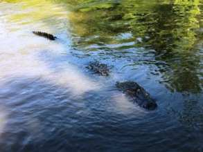 Alligator on New Orleans Airboat Swamp Tour