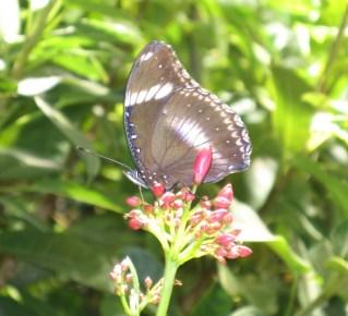 Inside Smithsonian Butterfly Garden01