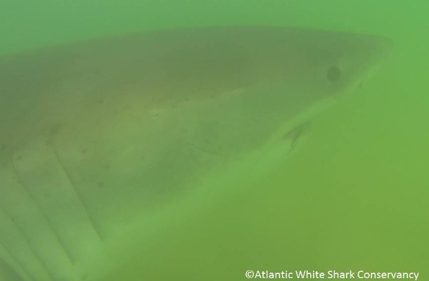 great white sharks cape cod