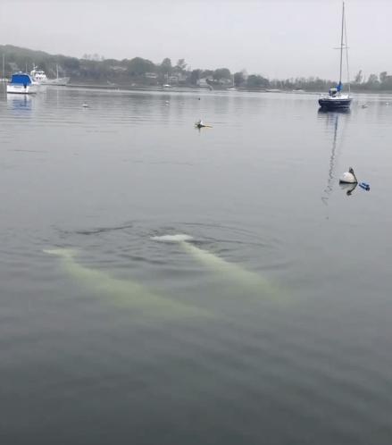 beluga whales newport ri