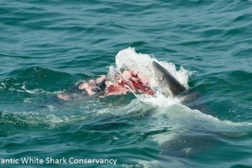 Cape Cod Great White Shark