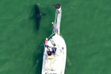 great white shark chatham tagged