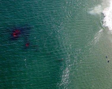 Great White Shark Monomy