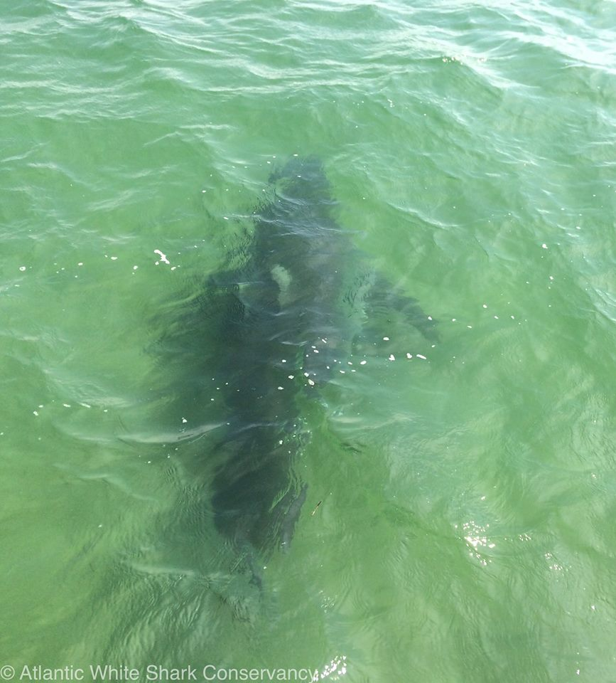 A Record Number Of Great Whites Tagged Today On Cape Cod