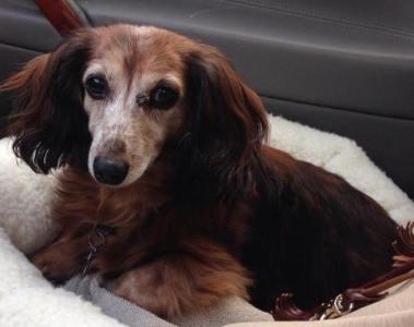 missing dog Pepper Newport RI