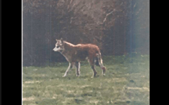 Portsmouth RI Coyote