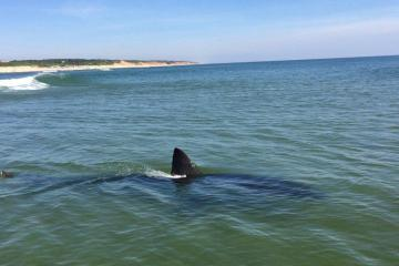 great white cape cod