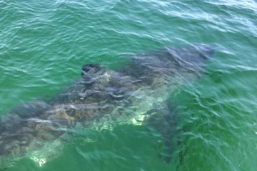 great white shark south beach cape cod