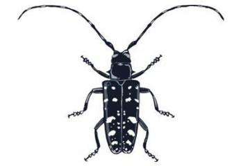 Asian-longhorn-beetle Rhode Island