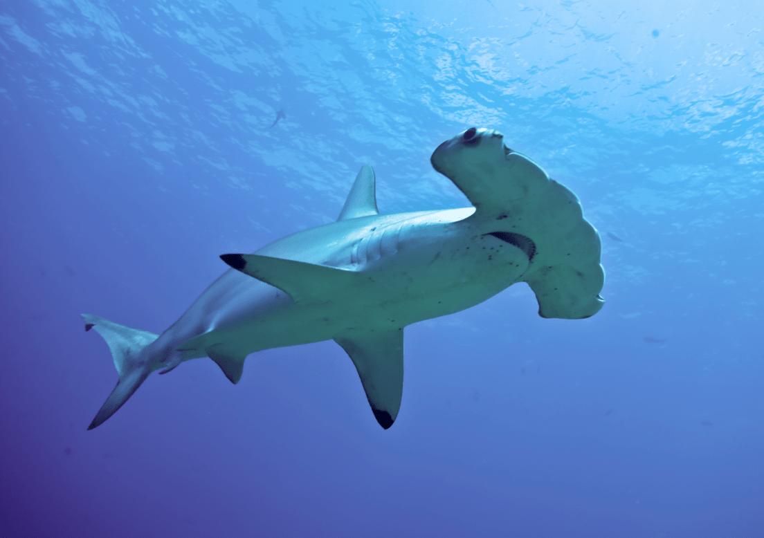 Hammerhead Shark Spotted Five Feet Off Martha's Vineyard ...