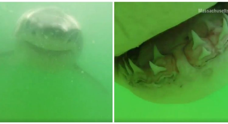 great white shark cape cod
