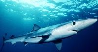 Blue Sharks, Killer Sharks