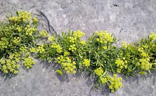 Season Rock Samphire Foraging Newquay Cornwall