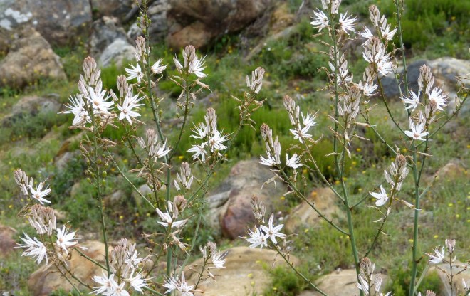 Photo of lavender and white asphodel flowers against a green field with rocks