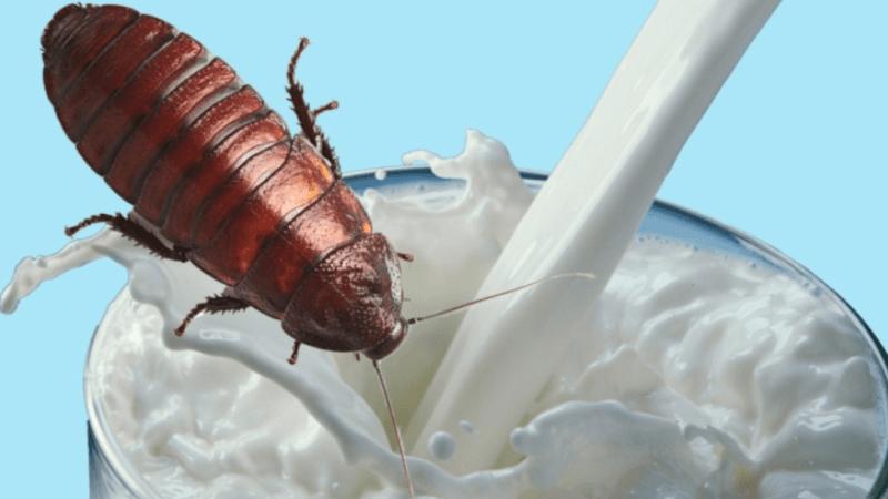 Тараканье молоко — еда будущего?