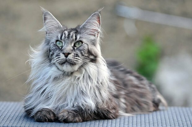 Стали известны самые преданные кошки: 3 породы, которые умеют хранить верность