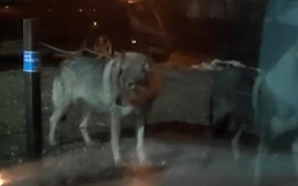 В центре Калуги стая волков держит всех в страхе