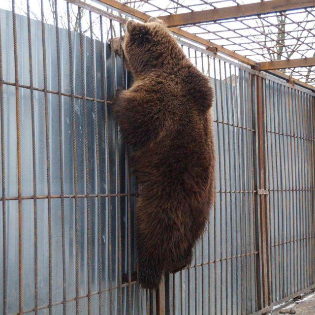Из-за аномально теплой зимы в центре для животных вышел из спячки медведь под Петербургом