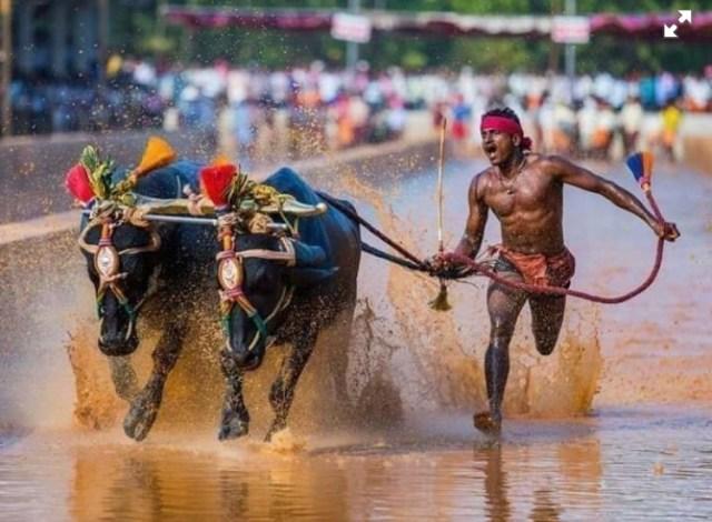 Индиец взабеге сбуйволами  пробежал быстрее Усэйна Болта