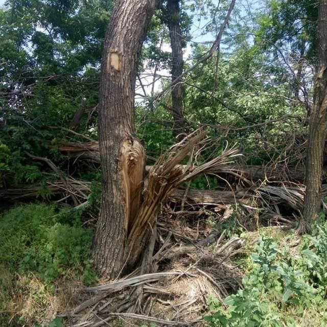 Более 160 деревьев уничтожили под Новоалександровском