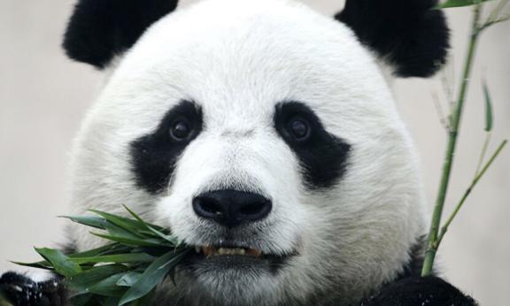 В зоопарке Бельгии панда напала на сотрудника